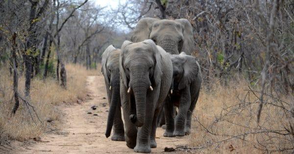 sudafrica elefanti