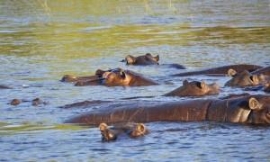 ippopotamo-acqua-fiume-chobe-ippopotamo-botswana_121-73144